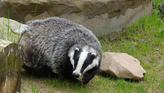 Badger identified in Extended Phase 1 survey
